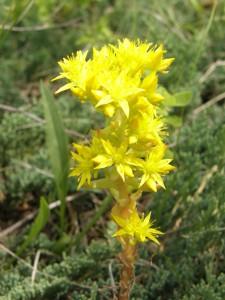 Stonecrop Full Bloom
