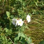 Wild Alberta Roses